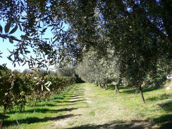 BARDOLINO vigna e ulivi1.jpg
