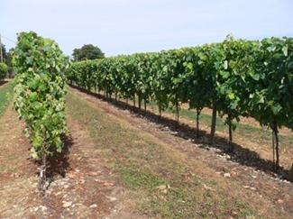 Cognac 1 Uva Uni Blanc