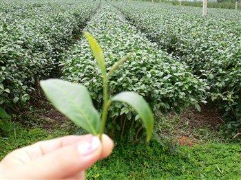 Germoglio Tea.jpg