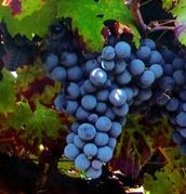 Uva Pinot Nero