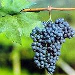 Vino Lambrusco Uva